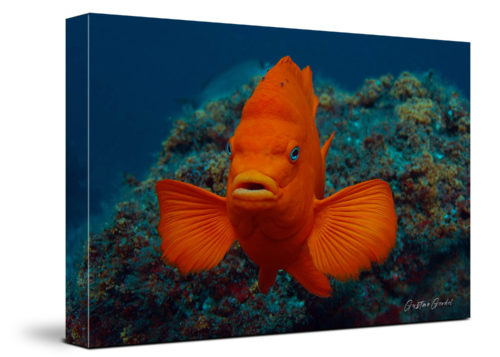 Garibaldi Fish Channel Islands Canvas Wall Art Handmade – 24 x 36 inches (60 x 90 cm) – Unframed – Signed by Artist