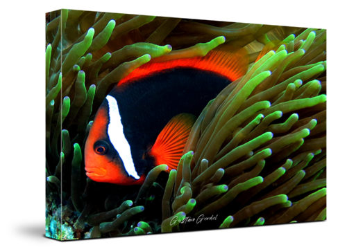 Clown Fish Canvas Wall Art Handmade – 24 x 36 inches (60 x 90 cm) – Unframed – Signed by Artist