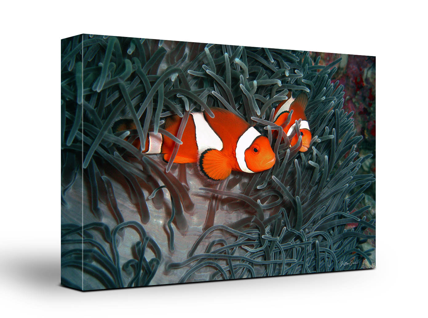 Clown Fish Wall Art